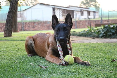Amden - Breeders of Malinois Belgian Shepherds - Homepage
