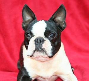 Boston terrier showing white markings on face