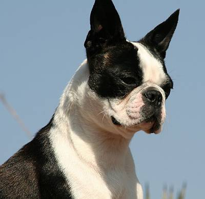 Boston terrier taken from below the head