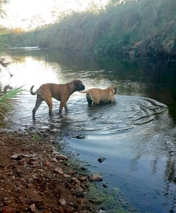Two bull mastiffs wading in a river